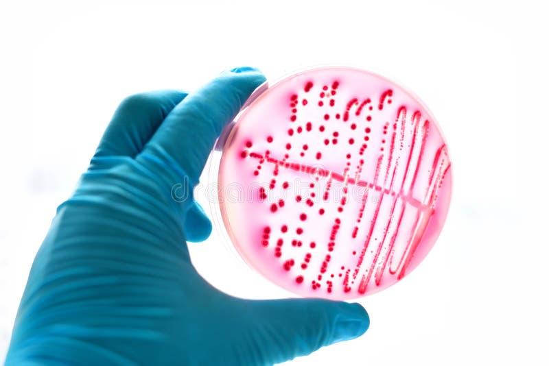 Cultura das bactérias imagens de stock
