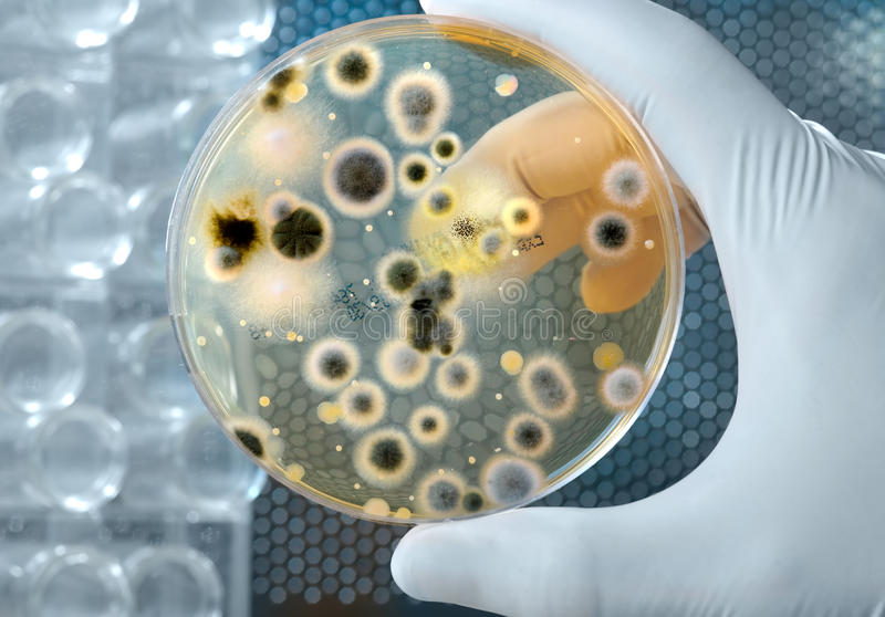 Cultura de las bacterias fotos de archivo libres de regalías