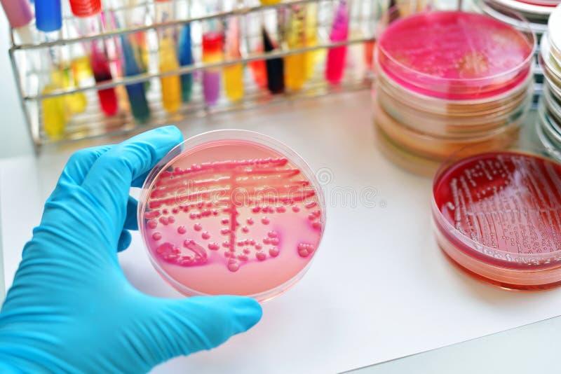 Cultura de las bacterias imagen de archivo