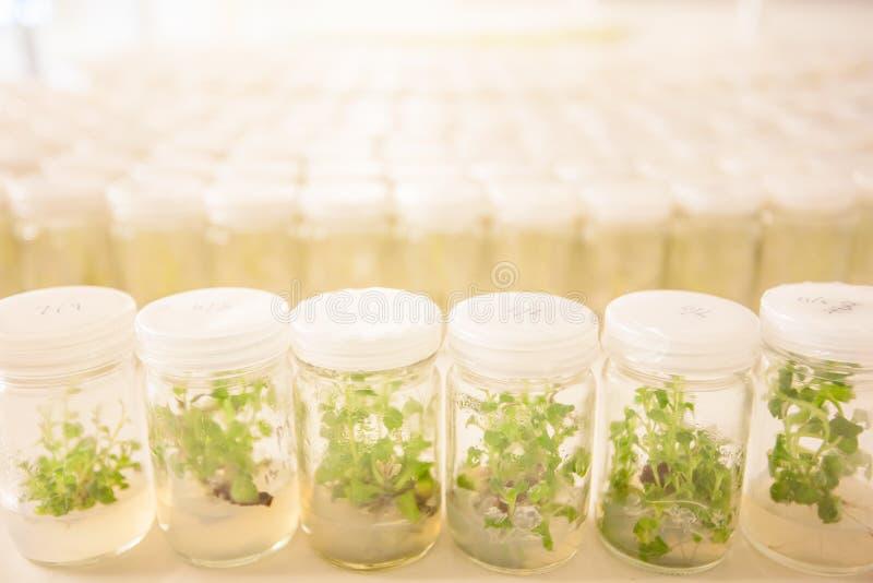 Cultura de tecido de planta, planta pequena em uns tubos de ensaio Aspargo e o foto de stock royalty free