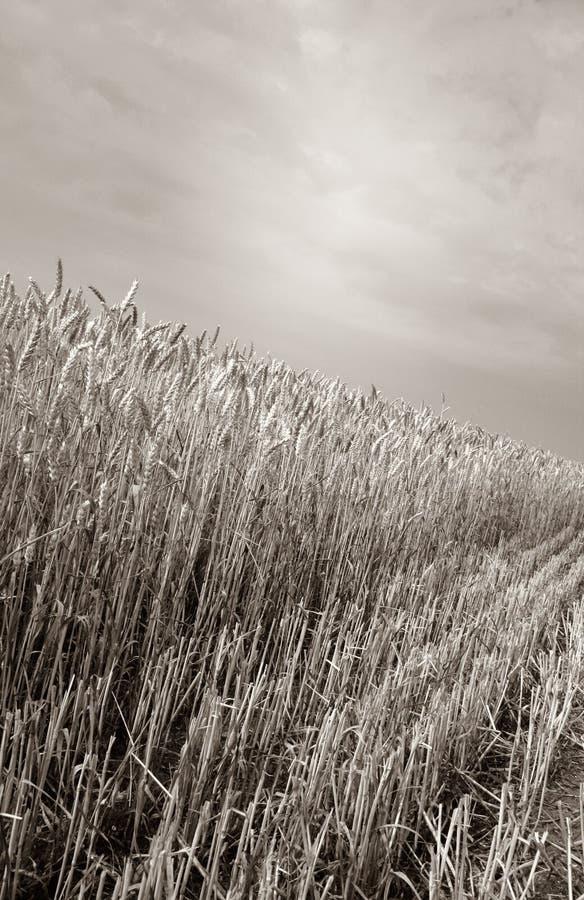 Cultura dei campi della raccolta fotografia stock