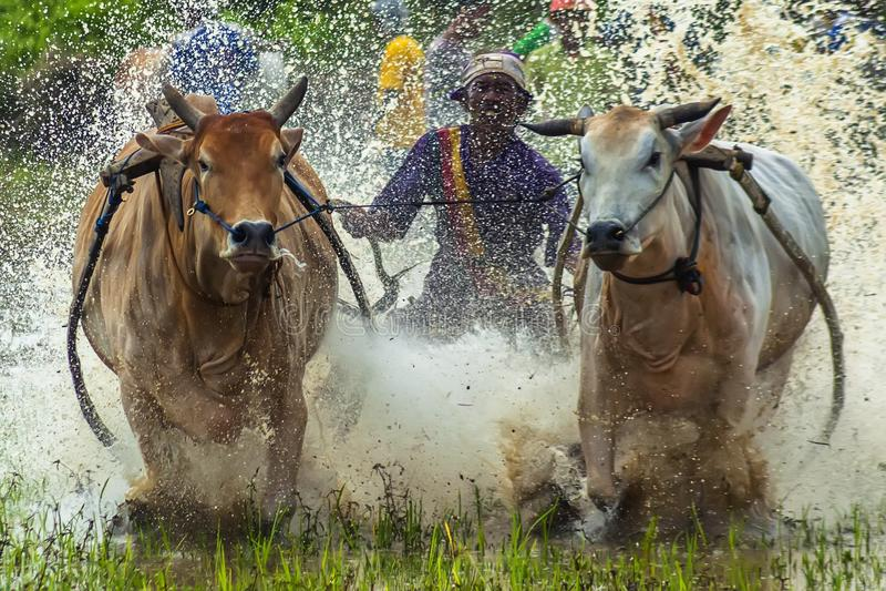 Download Cow race editorial stock image. Image of batusangkar - 104370874