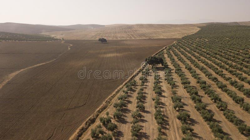 Culture ?cologique des oliviers dans la province de Jaen photo libre de droits