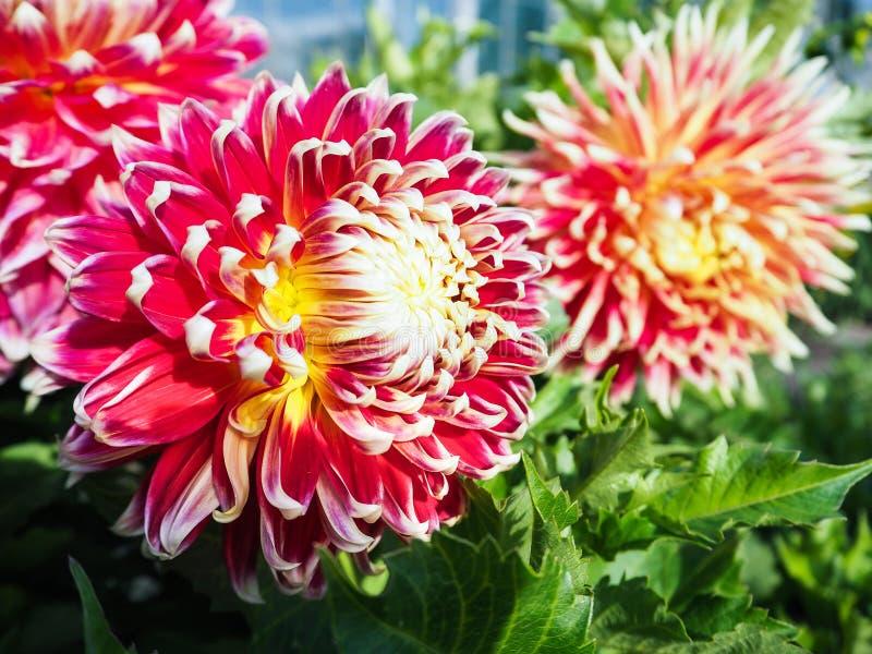 Culture commerciale de dahlia variétal pour des bouquets Dahlias variétaux Fleurs d'automne images stock