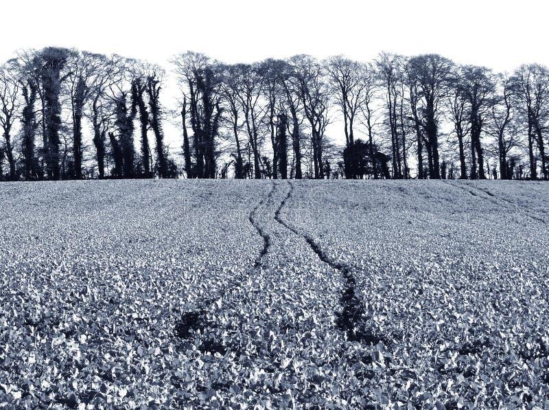 Culture d'hiver de viol de graine oléagineuse de radis d'huile/d'hiver au R-U photo stock