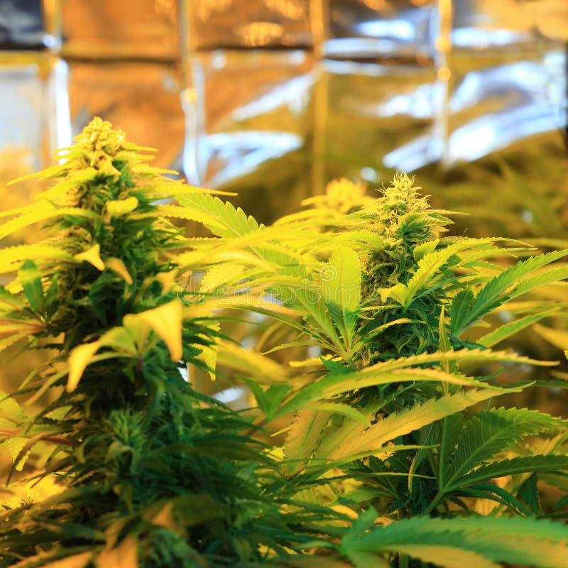 Culture d'inflorescence de cannabis dans une boîte de culture image libre de droits