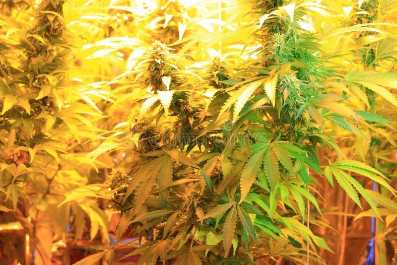 Culture d'inflorescence de cannabis dans une boîte de culture photo stock