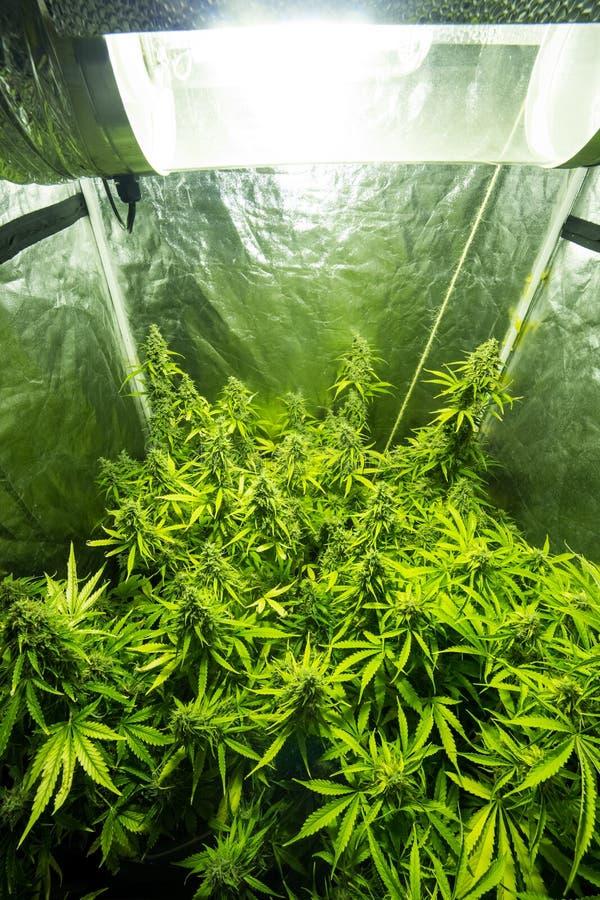 Culture D\'intérieur De Marijuana - La Marijuana élèvent La Boîte ...