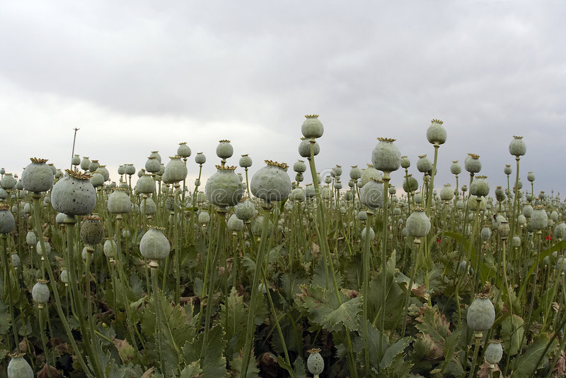 Culture d'opium images libres de droits