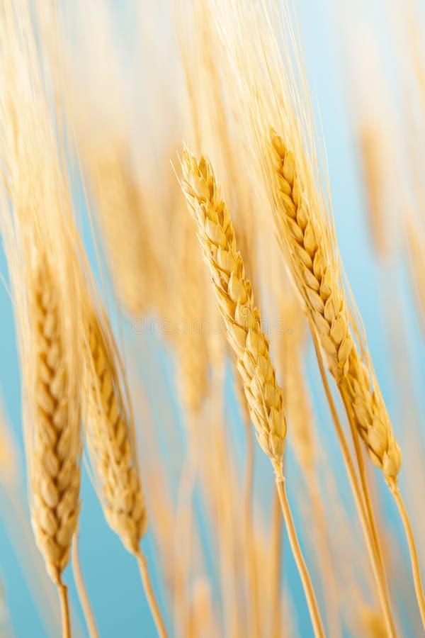 Culture d'or organique de blé photo stock