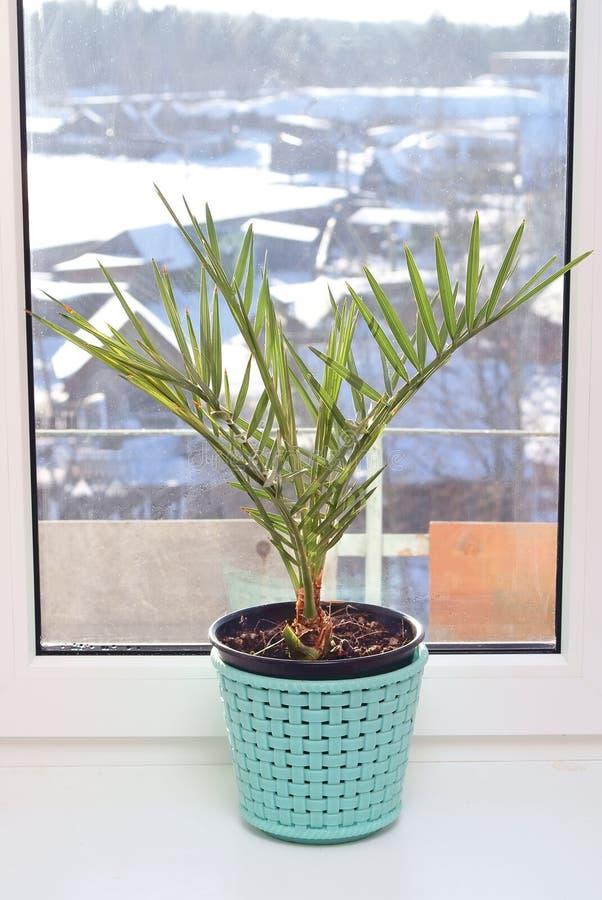 Culture d'un palmier de datte photo stock
