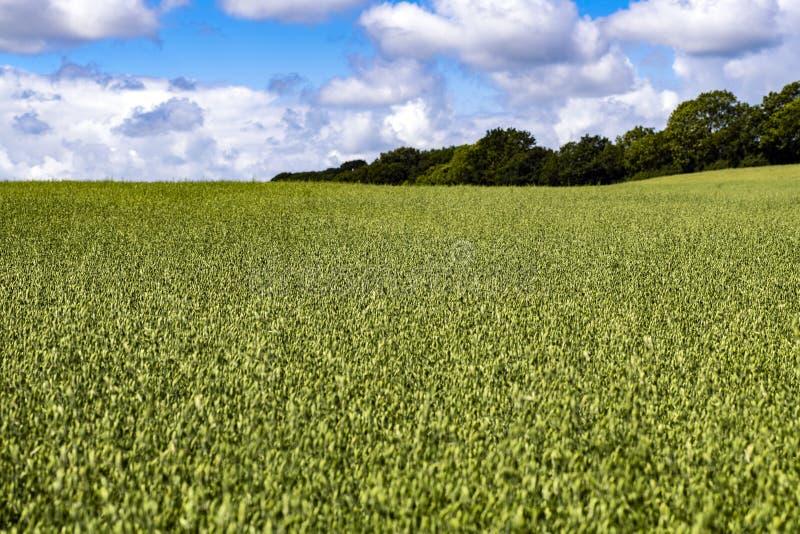 Culture de céréale d'été sur des terres cultivables en vallée de Combe, East Sussex, Angleterre photographie stock