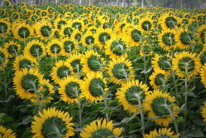 Culture de fleur de Sun, Inde du nord images libres de droits