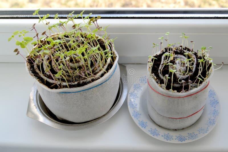 Culture de jeune plante d'un basilic sur un filon-couche de fenêtre dans la capacité qui a réussi tout seul du polystyrène photo libre de droits