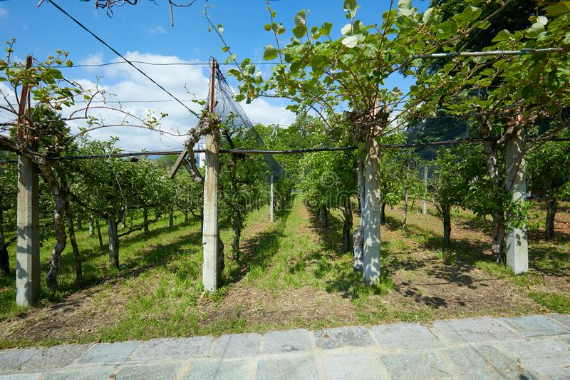 Culture de kiwi et de pomme dans un jour d'été, ciel bleu en Italie photos stock