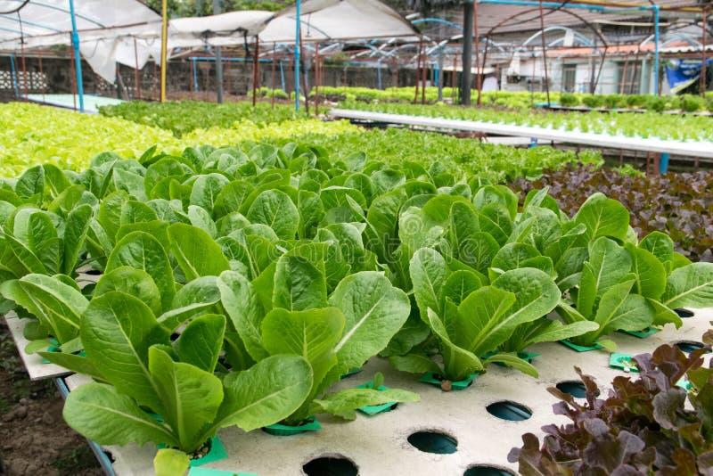 Culture de légumes hydroponique en serre chaude photos libres de droits