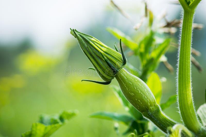 Download Culture De Légumes Verte De Courgette Sur Le Lit Végétal Photo stock - Image du cuisine, bâti: 76078166