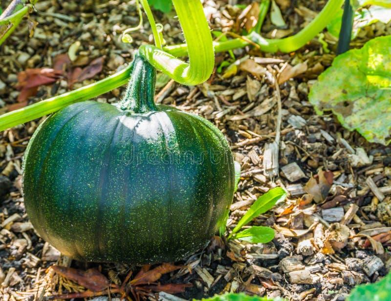 Culture de légumes verte de potiron sur une usine de potiron image stock