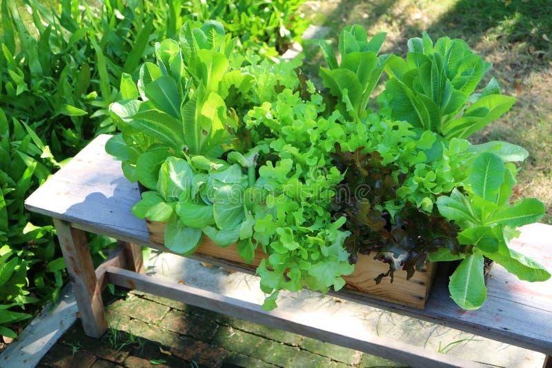 Culture de légumes verte vibrante dans le jardin d'arrière-cour images libres de droits
