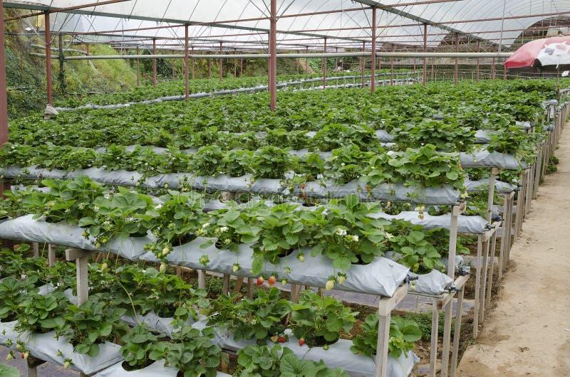Culture de la fraise en serre chaude en Cameron Highland, Malaisie photos libres de droits