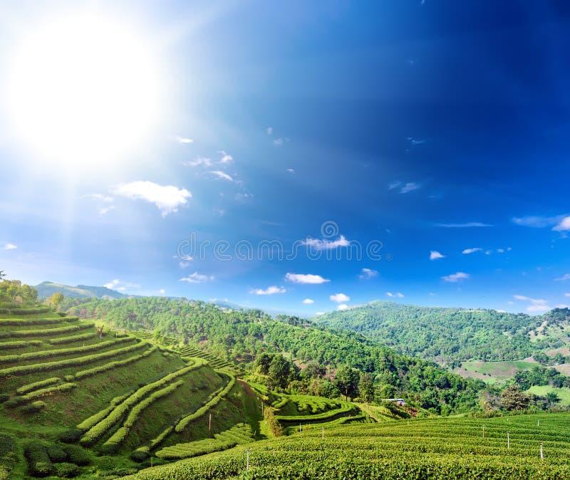 Culture de plantation de thé en collines du nord de montagne de la Thaïlande photographie stock libre de droits