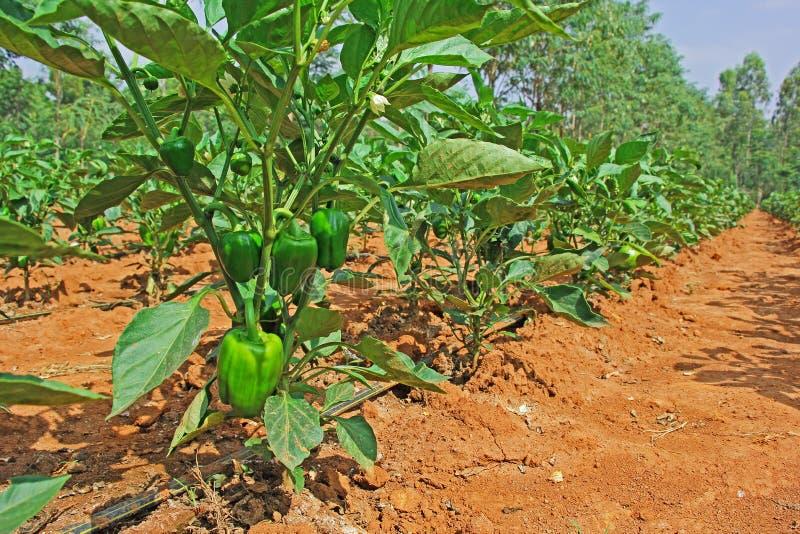 Culture de poivron dans l 39 inde image stock image du poivre culture 35948057 - Culture de l echalote ...