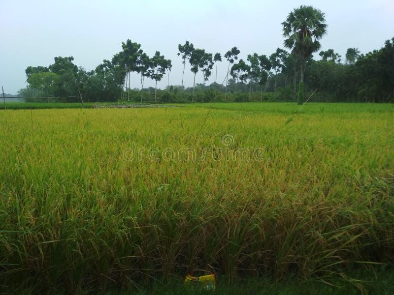 Culture de riz image stock