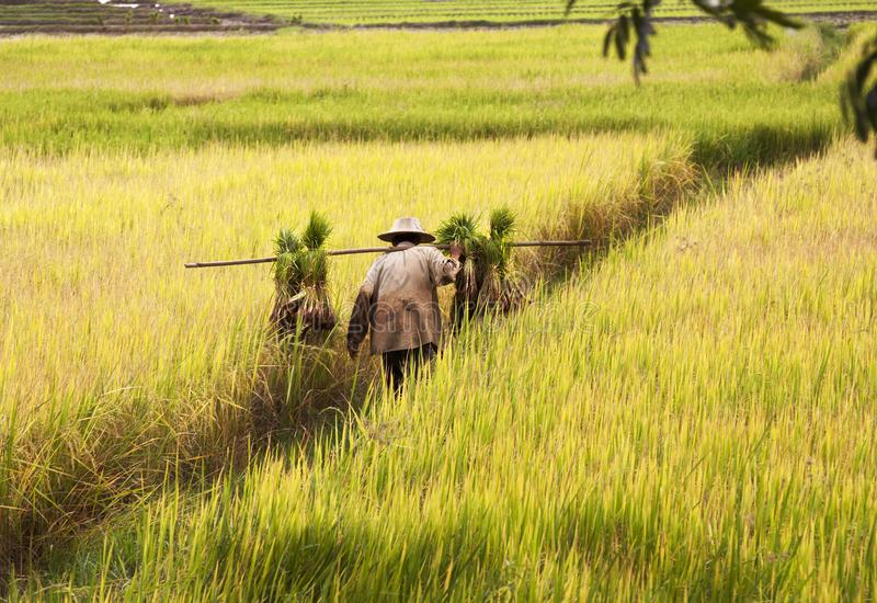 Culture de riz en Thaïlande images libres de droits