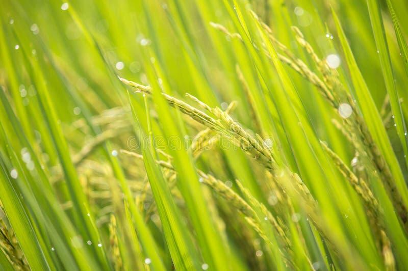 Culture de riz non-décortiqué photos stock