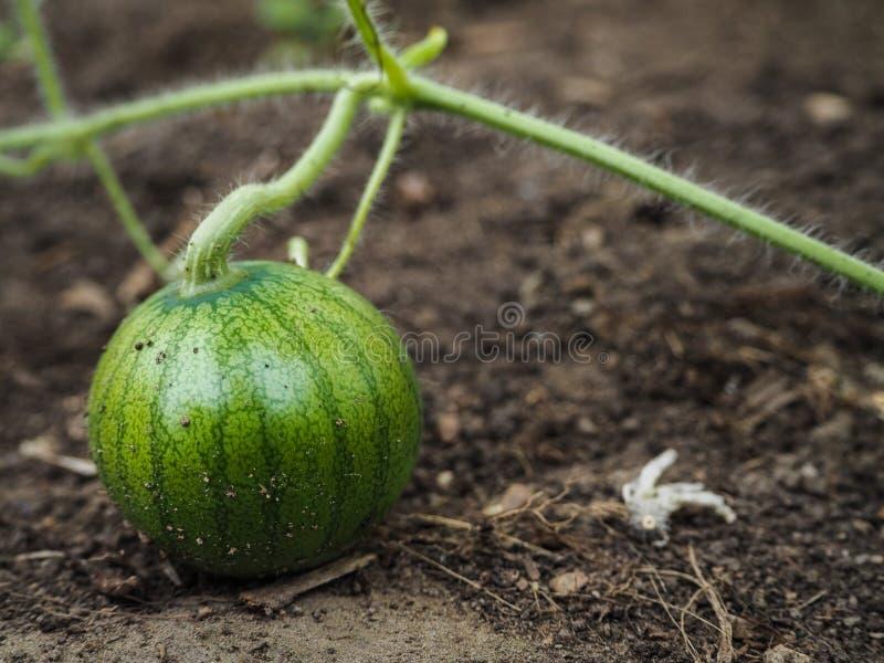 Culture de serre chaude de pastèque Peu de pastèque mûrit dans le jardin photo libre de droits