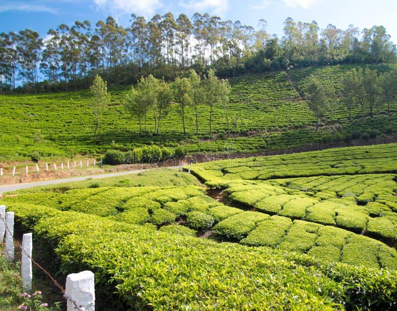 Culture de thé images stock