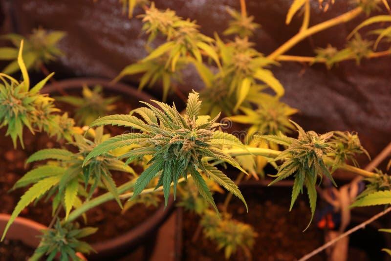 Culture des fleurs de cannabis dans une boîte photographie stock
