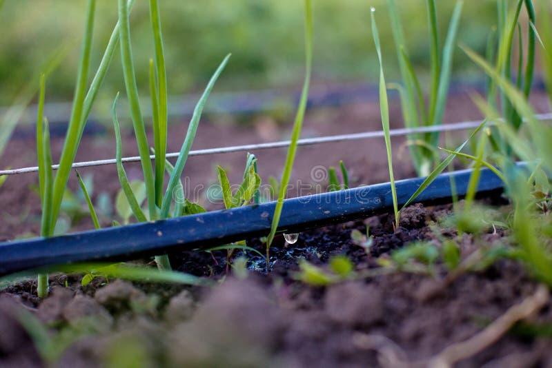 Culture des oignons dans le jardin dans le village dans le pays Mauvaise herbe à côté du jardin Le lit de l'ampoule d'ordinaire d images libres de droits