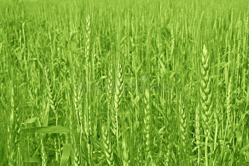 Culture et agriculture de blé images stock