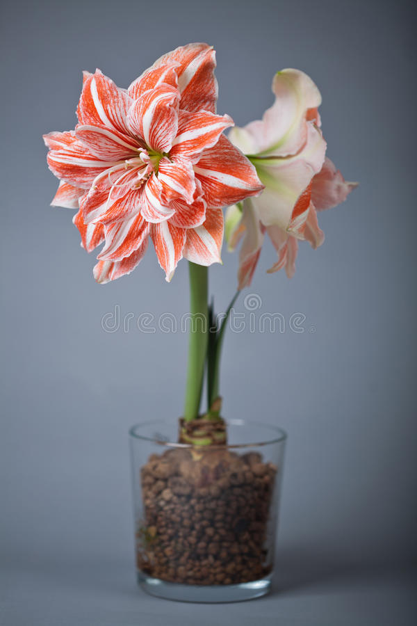 Culture hydroponique amaryllis photo stock image du for Amaryllis culture