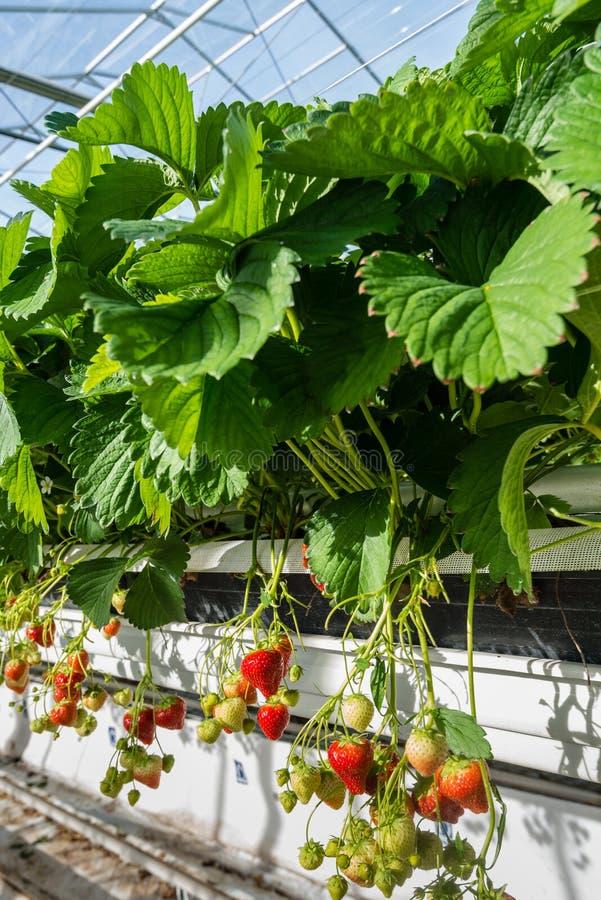 Culture hydroponique de fraise de fin photographie stock libre de droits