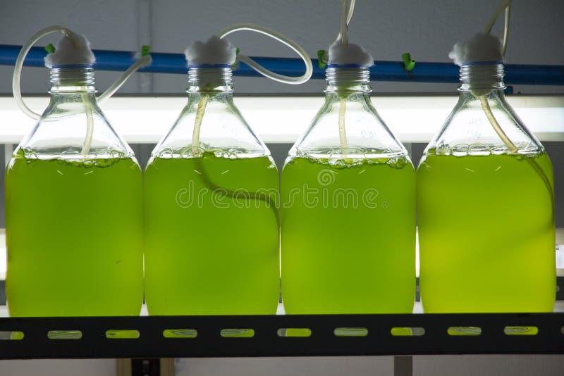 Culture marine de plancton dans le laboratoire photo stock