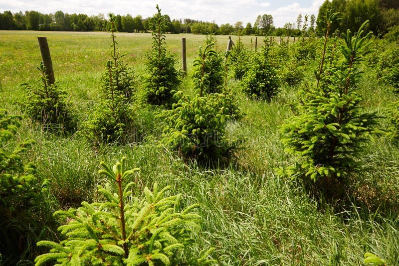 Culture naturelle de jeunes arbres impeccables au beau milieu des grasss verts images stock