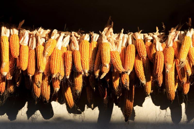 Culture organique de maïs images stock