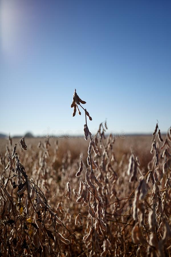 Culture riche en protéines de haricot de soja dans un domaine de ferme photos libres de droits
