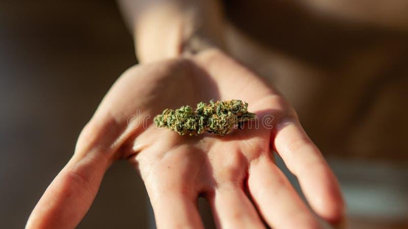 Marijuana buds in woman hands close-up. Culture of smoking marijuana in the world. Ready medical THC CBD cannabis buds  for smoking stock photo
