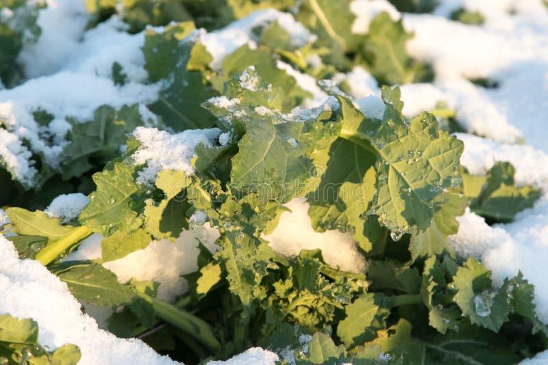 Cultures dans la neige croissance de saison d'hiver photo libre de droits