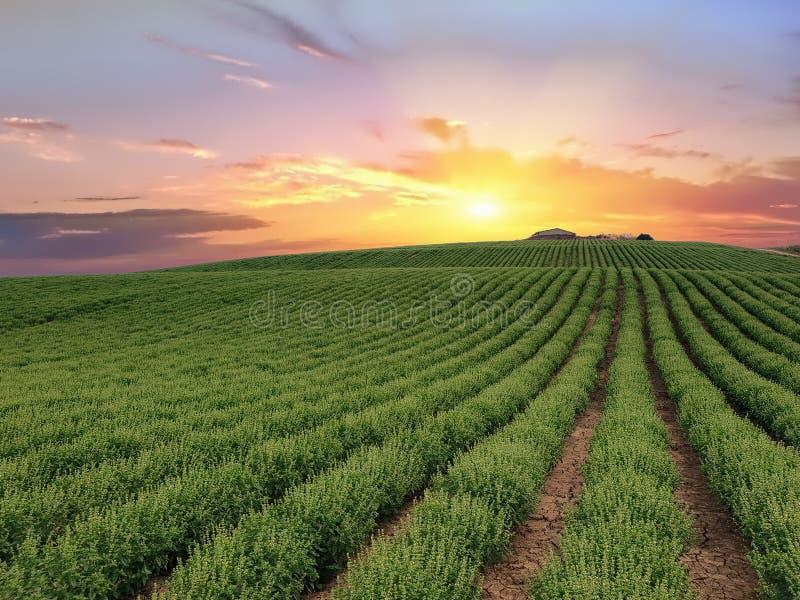 Cultures de Basil au lever de soleil Fleur de cardère de Dipsacum dans Coriano, campagne d'Emilia Romagna, Italie images stock