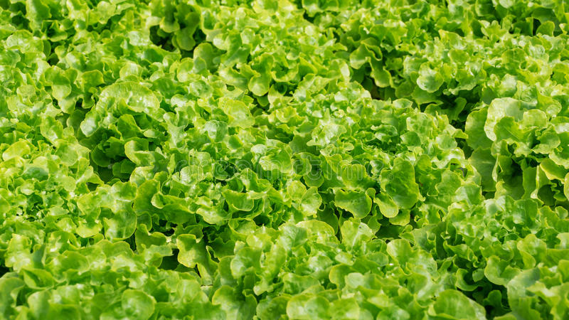 Cultuur hydroponic Groene Eik royalty-vrije stock afbeelding