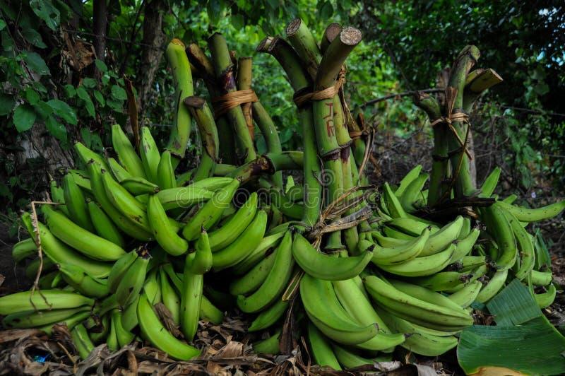 Cultuur van Bananen in Isla Ometepe, Nicaragua stock afbeeldingen