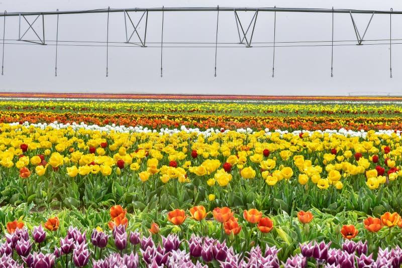 Cultuur van de Tulpenbloem royalty-vrije stock afbeeldingen