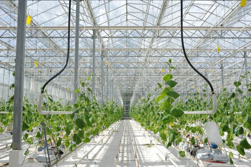 Cultuur van tomaten, komkommers en andere groenten in serres en serres in het noorden van Rusland Landbouw in stock foto