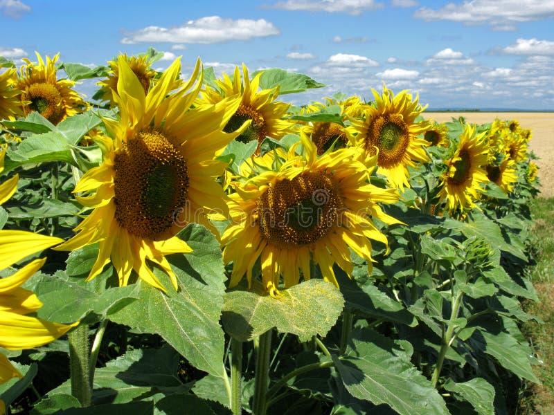 cultvation słoneczniki fotografia royalty free