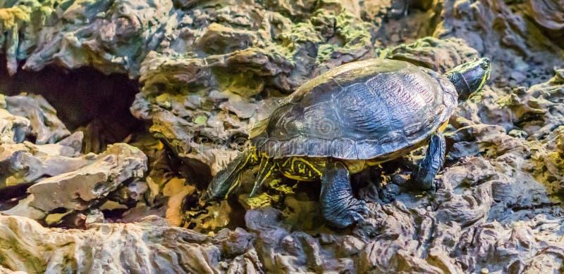 Cumberland glidaresköldpadda som omkring går, populärt tropiskt husdjur från våtmarkerna av Amerika arkivbilder