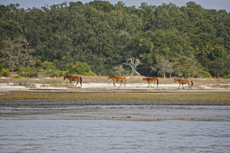 Cumberland Island, Georgia, USA: A small herd of wild horses royalty free stock photos